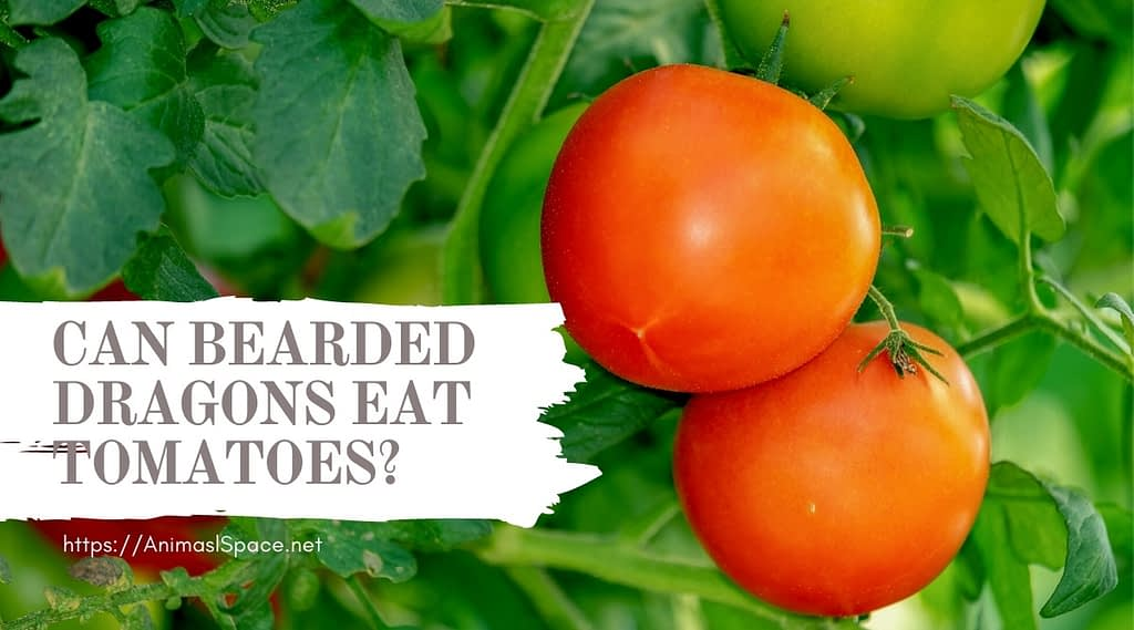 can bearded dragons eat tomatoes