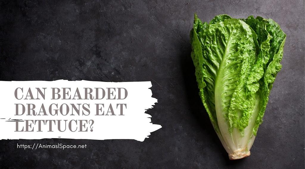 Can Bearded Dragons Eat Lettuce