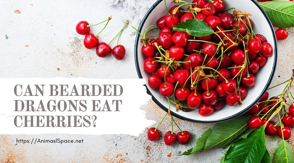 Can Bearded Dragons Eat Cherries