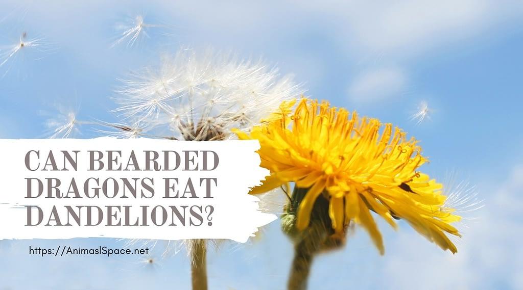 can bearded dragons eat dandelions